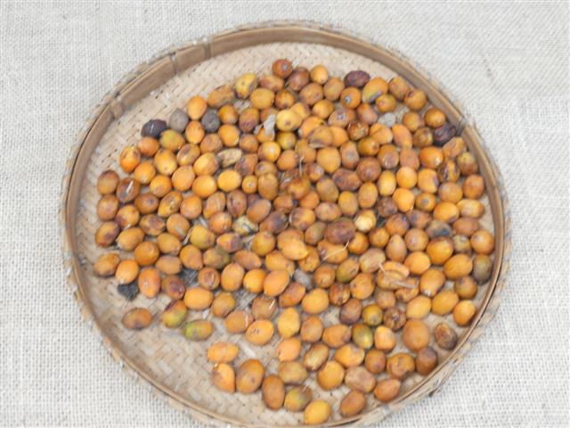 Aldeias coletam sementes para reprodução em viveiro