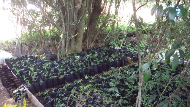 Lomba do Pinheiro intensifica produção de mudas