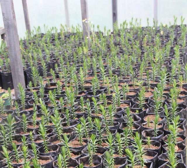 Projeto prepara mudas para plantio em 2012